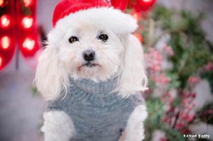 Brooklyn (Dogs Christmas 2015 December 19, 2015205201512191 of 1)